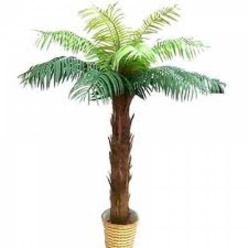 Palm Tree 2.1m